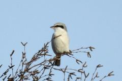 Great Grey Shrike (Mike J O Lewis) Tags: great grey shrike greatgreyshrike forestofdean forest dean woorgreens gloucestershire wildlife nature d3200 nikon bird
