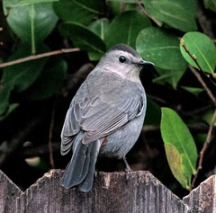 Gray Catbird (Dumetella carolinesis) (ACEZandEIGHTZ) Tags: macro closeup gray catbird dumetella carolinesis nikon d3200 leaves mimid avian winged backyard birdwatcher coth alittlebeauty coth5 sunrays5