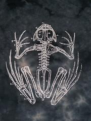 Frog Skeleton (craftyscientists51) Tags: geekshirt science biology teaching animals frog amphibian children evolution anatomy women men handmade