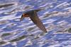 Welcome Swallow (Rodger1943) Tags: birdsinflight faunainmotion australianbirds fz1000 swallows welcomeswallow