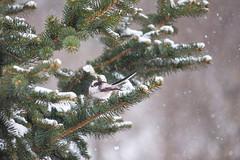 Long-tailed Tit male (Inka56) Tags: 7dwf longtailedtit fauna tree snowflakes snow