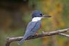 Ringed Kingfisher (Alan Gutsell) Tags: southtexasbirds bird birding photo alan nature wildlife texasbirds texas mexico border ringed kingfisher ringedkingfisher fishing