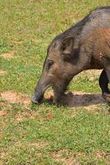Sri_Lanka_17_163 (jjay69) Tags: srilanka ceylon asia indiansubcontinent tropical island yala yalanationalpark nationalpark wildlifetour wildlifespotting animalviewing viewing wildlife pigs warthog bushpig wildboar boar boars