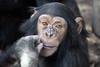 Ajani @ Artis 26-03-2017 (Maxime de Boer) Tags: ajani chimpanzee chimpansee chimp ape aap monkey natura artis magistra zoo amsterdam animals dieren dierentuin gods creation schepping creator schepper genesis
