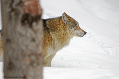 Lupo _014 (Rolando CRINITI) Tags: lupo mamma bayerischerwaldnationalpark libertàcontrollata germania wolf neve