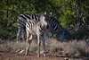 famille Zébres South Africa_4675 (ichauvel) Tags: zébres zebras bébé baby famille family tendresse krugerparkparckruger exterieur outside savane végétation animauxsauvages wildeanimals regarder looking janvier january getty