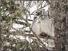_1140556 (geelog) Tags: alberta bowriver calgary fishcreekprovincialpark sikomelake ab canada raptors birds winter