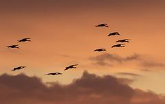 Sandhill Cranes Flying into the Sunset (marlin harms) Tags: lessersandhillcrane antigonecanadensis gruscanadensis sandhllcrane sunset mercednwr