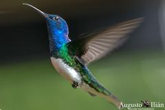 _DSC6753.jpg (Augusto Ilian G) Tags: alejandria colibries pajaros