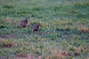 Una pareja de perdices para Montse. (Jesús Emilio Monje) Tags: aves birds naturaleza nature perdices partridges
