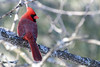 Cardinal from the back (Vermont Lenses) Tags: wild bird vermont winter cardinal red male january