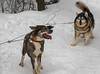 Excited by the Waiting for sleigh ride (deVégas) Tags: chiens dogs malamute malamuth malamut chiensesquimaux esquimau hiver winter attelage