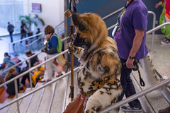 DSC01887 (Kory / Leo Nardo) Tags: furry fursuit suiting dance party dj con convention further confusion fc san jose marriott center 2018 fc2018 pupleo leo kory fur costume costuming cosplay animals