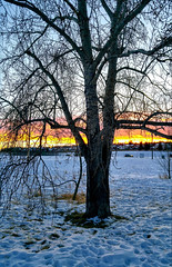 Tree (Jane Olsen) Tags: snow landscape sunset evening tree branches sky outdoor calgary alberta
