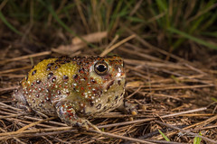 Crucifix Frog (R. Francis) Tags: notadenbennettii crucifixfrog brigalowbelt ryanfrancis ryanfrancisphotography qld queensland southeastqueensland southernqueensland