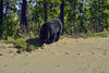 American Black Bear at Little Teslin Lake, Alaska Highway 1  -  (Selected by GETTY IMAGES) (DESPITE STRAIGHT LINES) Tags: nikon d800 nikond800 nikkor200500mm nikon200500mm nikongp1 paulwilliams despitestraightlines flickr gettyimages getty gettyimagesesp despitestraightlinesatgettyimages bear blackbear adultblackbear wildanimal wildbear claws paw paws fur nature mothernature ursusamericanus animalia carnivora ablackbeareatinggrass blackbearonalaskahighway alaskahighway1