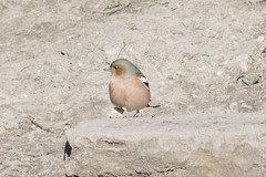 """chaffinch • <a style=""""font-size:0.8em;"""" href=""""http://www.flickr.com/photos/157241634@N04/39774314794/"""" target=""""_blank"""">View on Flickr</a>"""