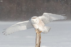 ''J'arrive! Harfang des neiges -Snowy owl (pascaleforest) Tags: bird oiseau animal owl hibou passion nikon nature winter hiver snow neige québec canada wild wildlife faune light lumière