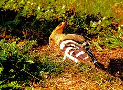 Hoopoe feeding. (Fr Paul Hackett) Tags: bird grass sunshine