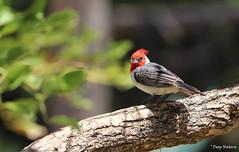 Cardenal común,  red-crested cardinal (Paroaria coronata) (7sombreros) Tags: birds birding nature naturephotographyu carpintero woodpeeker