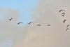 DSC_0575 (H Sinica) Tags: 贊比亞 zambia zimbabwe 津巴布韋 zambeziriver 贊比西河 africansacredibis threskiornisaethiopicus 聖䴉 聖鷺 curlew