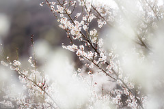 Ume blossoms (Blue Ridge Walker) Tags: 梅 湯河原梅林 kanagawa 神奈川県