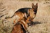 nena y ñanco (jolateseguel) Tags: pastor aleman german sheperd dog