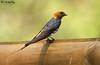 Lesser Striped Swallow (Ted Humphreys Nature) Tags: lesserstripedswallow swallows hirrundines okavangodelta botswana africa tedhumphreysnature