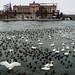 Lilla Värtan swans and ducks Stockholm Sweden