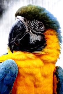 Gelbbrustara - Yellow Breasted Macaw