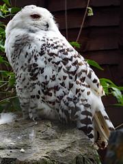 Beale Park (2017) Snowy owl (Daves Portfolio) Tags: bealepark 2017 berkshire buboscandiacus snowyowl owl birdofprey
