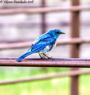 Mountain Bluebird, Valles Caldera, New Mexico