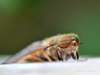 Hybomitra ciureai - Levels yellow-horned horsefly