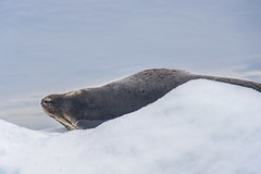 Seal on ice (Travels with Kathleen) Tags: antarctica seals ice floe iceberg outdoor wildlife icebergalley snow