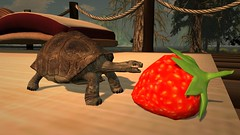 All for meeeeeeeeeeee (alexandriabrangwin) Tags: alexandriabrangwin secondlife 3d cgi computer graphics virtual world photography baby tortoise eating giant huge strawberry happily cute aww funny silly adorable awesome mondys new house turtle animal fruit