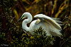 New Zealand White Heron The kōtuku (furbs01 Thanks for 5,000,000 + views 28 Jan 2018) Tags: white heron kotoku bird wader nest animal foliage grass tree nature green raining water whiteheron