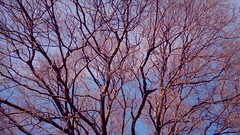 Tree branches (Elvis L.) Tags: tree sky sunshine nature plant wallpaper background winter deciduous zadar dalmatia croatia