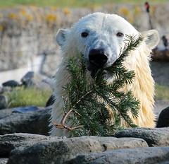 polarbear Blijdorp BB2A5781 (j.a.kok) Tags: ijsbeer polarbaer beer bear blijdorp ursusmaritimus animal predator mammal zoogdier dier