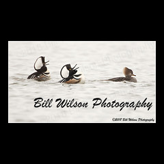 courtship display (wildlifephotonj) Tags: hoodedmerganser hoodedmergansers merganser mergansers ducks duck wildlifephotographynj naturephotographynj wildlifephotography wildlife nature naturephotography wildlifephotos naturephotos natureprints birds bird