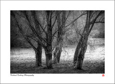 Bunch of Fives (Chalky666) Tags: tree trees wood woodland fog mist frost southdowns westsussex landscape art mono