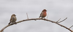 House finches 5026