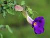 bngishakEOS 7D 0028865 (bngishak (Off..!!)) Tags: bngishak canoneos7d ef24105mmf4lisusm thunbergiaerecta kingsmantle purple blue flower