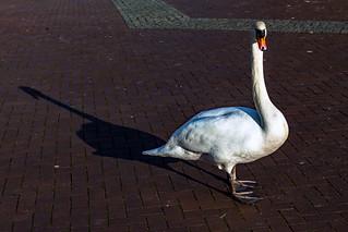 Höckerschwan auf der Greenwichpromenade in Tegel