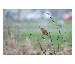 Rouge-Gorge (Roxo15) Tags: 2018 bokeh blagnac nikon lieux nature oiseaux animaux d7100