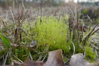 Spring green moss among dried leaves and weeds
