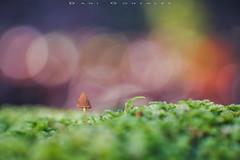 Sonrojada (www.studio360fotografia.es) Tags: zeissikonvariotalon70120mm sonrojada olympus omd em10 mushroom fungi bokeh desenfoque nature naturaleza projector proyector
