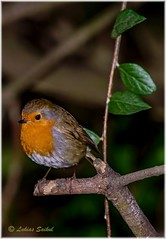 Almost Spring IV (lukiassaikul) Tags: wildlifephotography wildanimals wildbirds gardenbirds urban wildlifesmall birdsrobineuropean robin perching trees branch