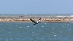 Boca de Ceniza (fernando_torres_go) Tags: canon 1000d 55250mm mar azul paisaje landscape aves birds pelícano barranquilla colombia