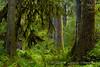 Hall of Mosses (Lidija Kamansky) Tags: hohrainforest olympicnationalpark olympicpeninsula pacificnorthwest washingtonstate beautyinnature forest green lushfoliage nature outdoors scenics trees earthnaturelife hoh rainforest