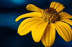 Sonja (jarrardphotography) Tags: blue flower macromonday yellow lessthananinch macro
